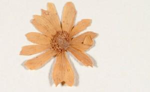 cropped-Gedroogde-bloem-Widow-Risoir-aan-Clusius-1596-Vul.-101-UBL.jpg